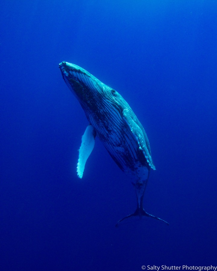Rurutu_Whales (10 of 19).jpg